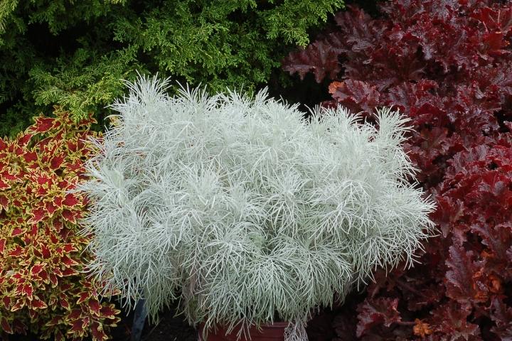 20180830B Artemisia-Makana-Silver www.terranovanurseries.com.jpg