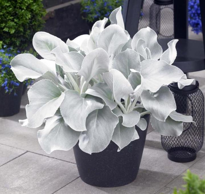 20180830F Senecio Angel wings conceptplants.com.jpg