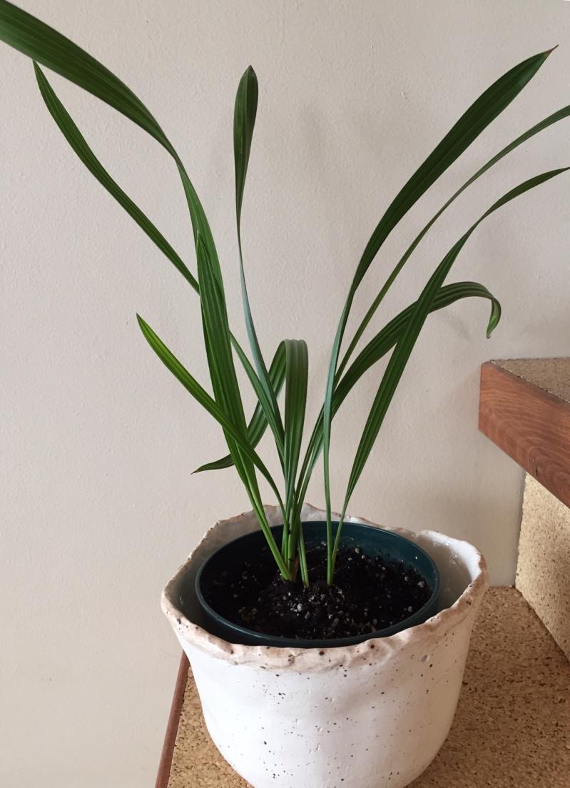 Plante D Intérieur A Faire Pousser dattier comme plante d'intérieur – jardinier paresseux