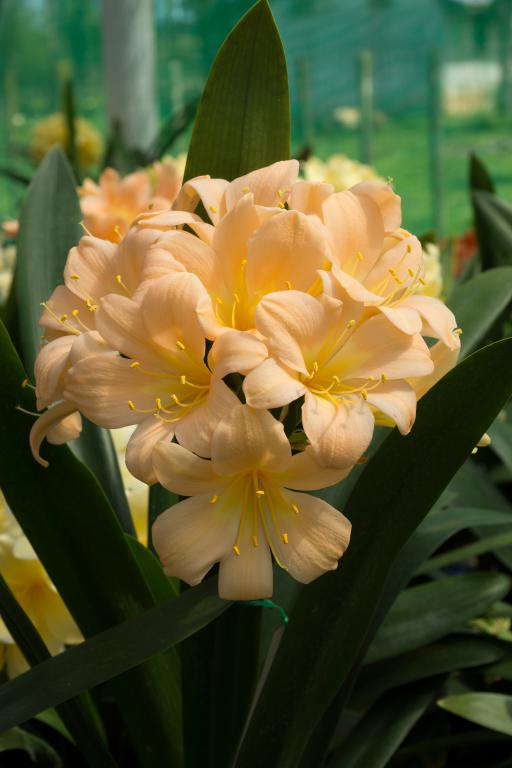 20190108J 'Vico Peach', www.chilternseeds.co.uk.jpg