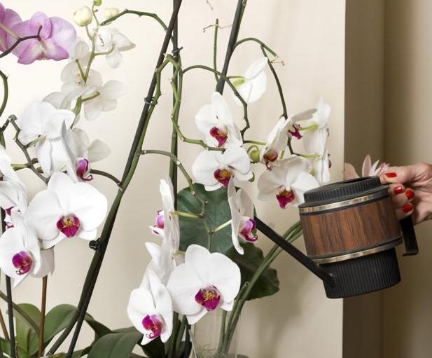 comment arroser une orchid e jardinier paresseux. Black Bedroom Furniture Sets. Home Design Ideas