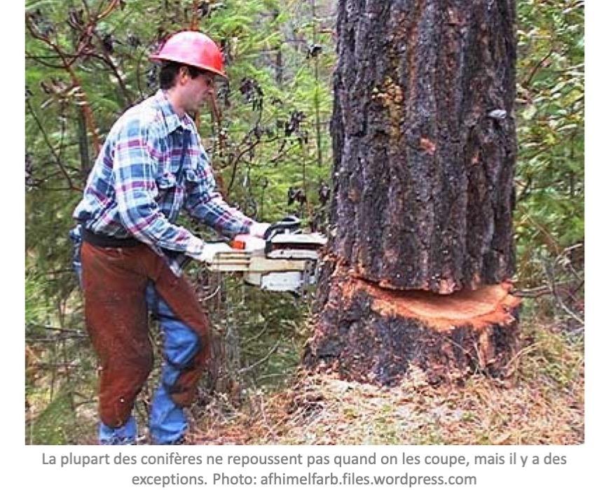 Les Coniferes Peuvent Ils Se Regenerer A Partir D Une Souche Jardinier Paresseux