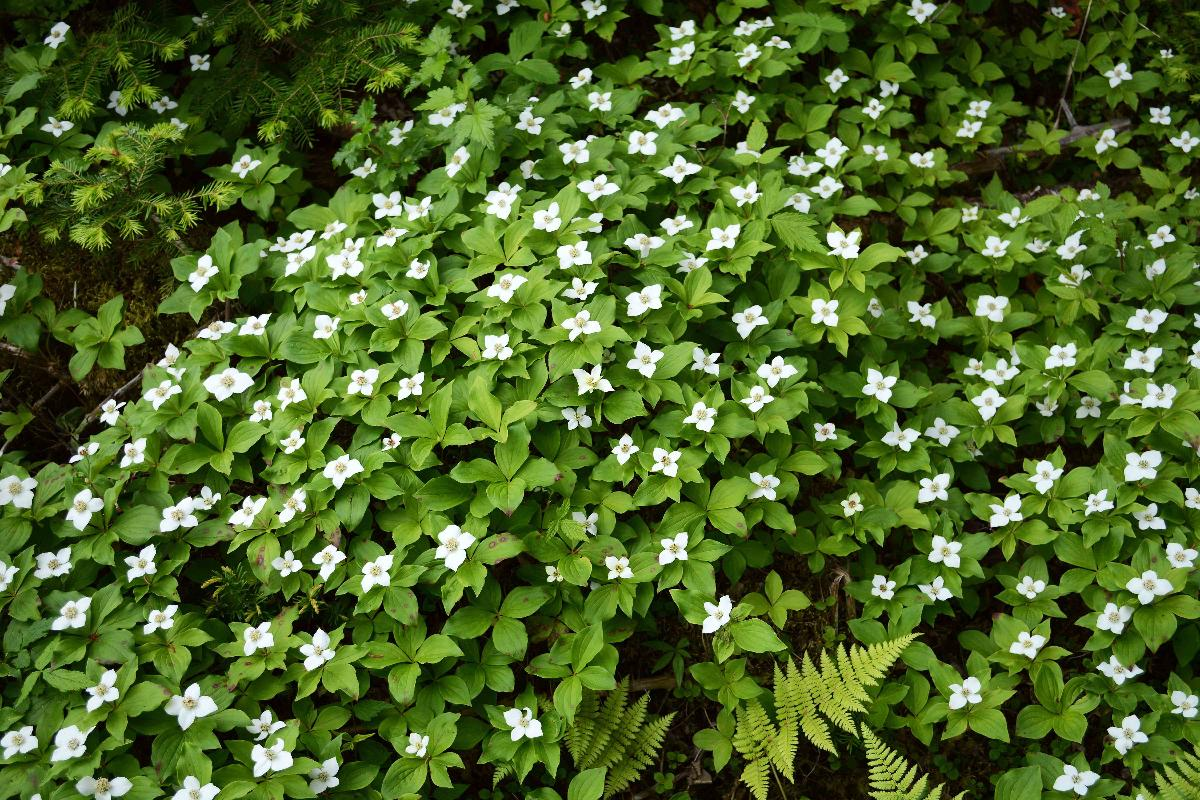 Couvre Sol Croissance Rapide couvre-sols – jardinier paresseux
