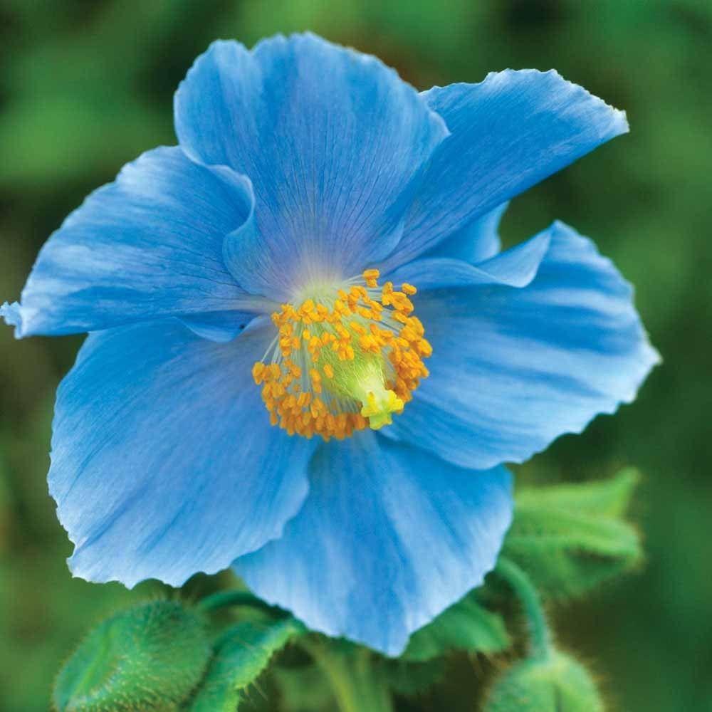 foutu pavot bleu   u2013 jardinier paresseux