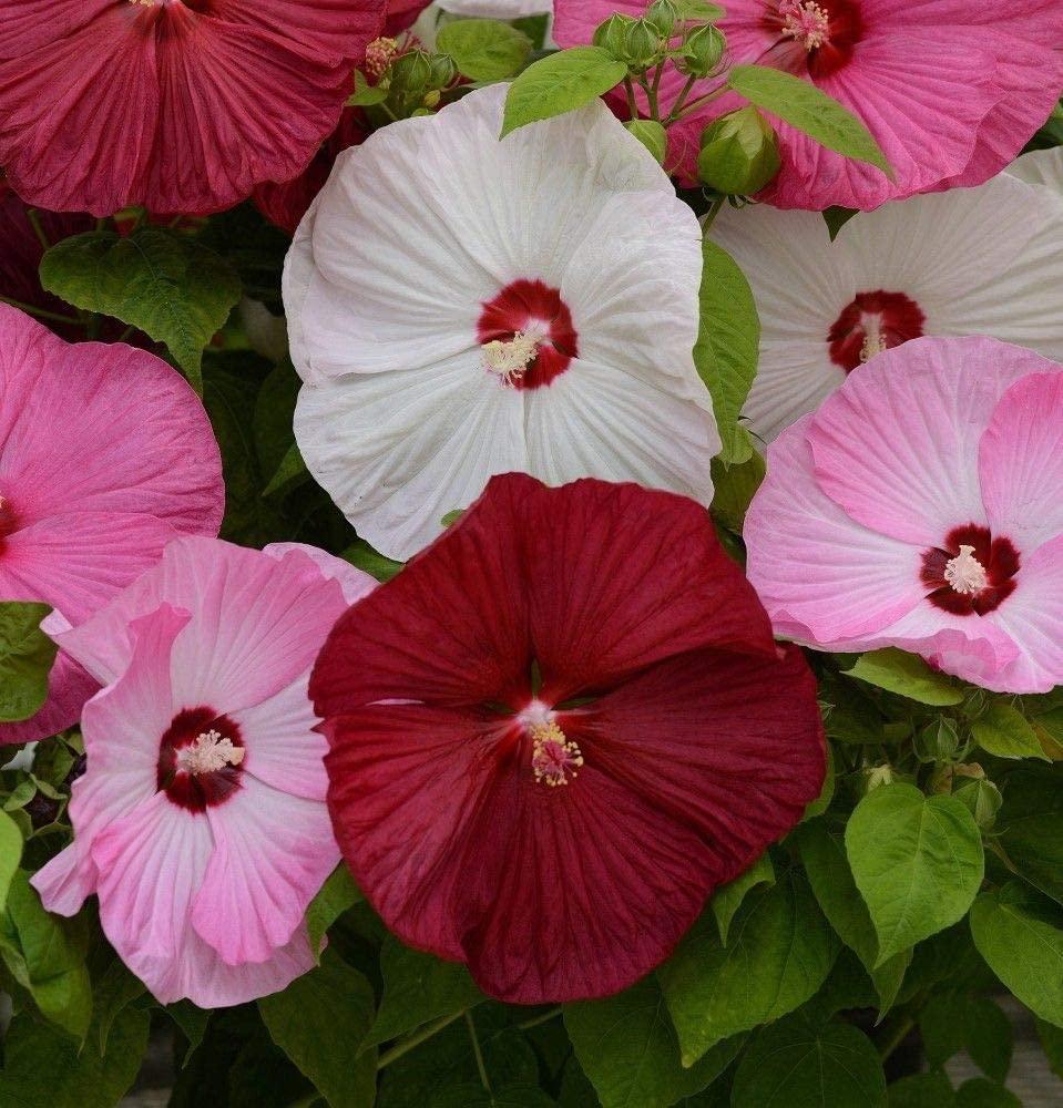 Confusion sur 3 hibiscus 200809c-amazon.com_