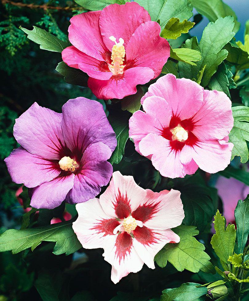 Confusion sur 3 hibiscus 200809e-spaldingbulb.co_.uk_