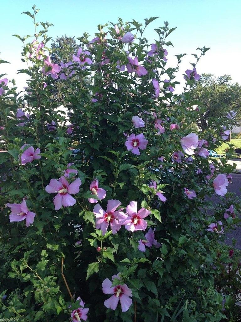 Confusion sur 3 hibiscus 200809f-amazon.ca_