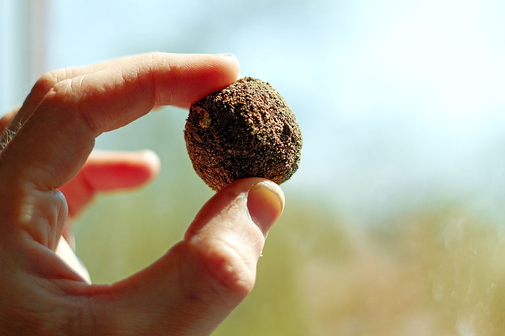 Bombe de graines brune tenues dans une main.