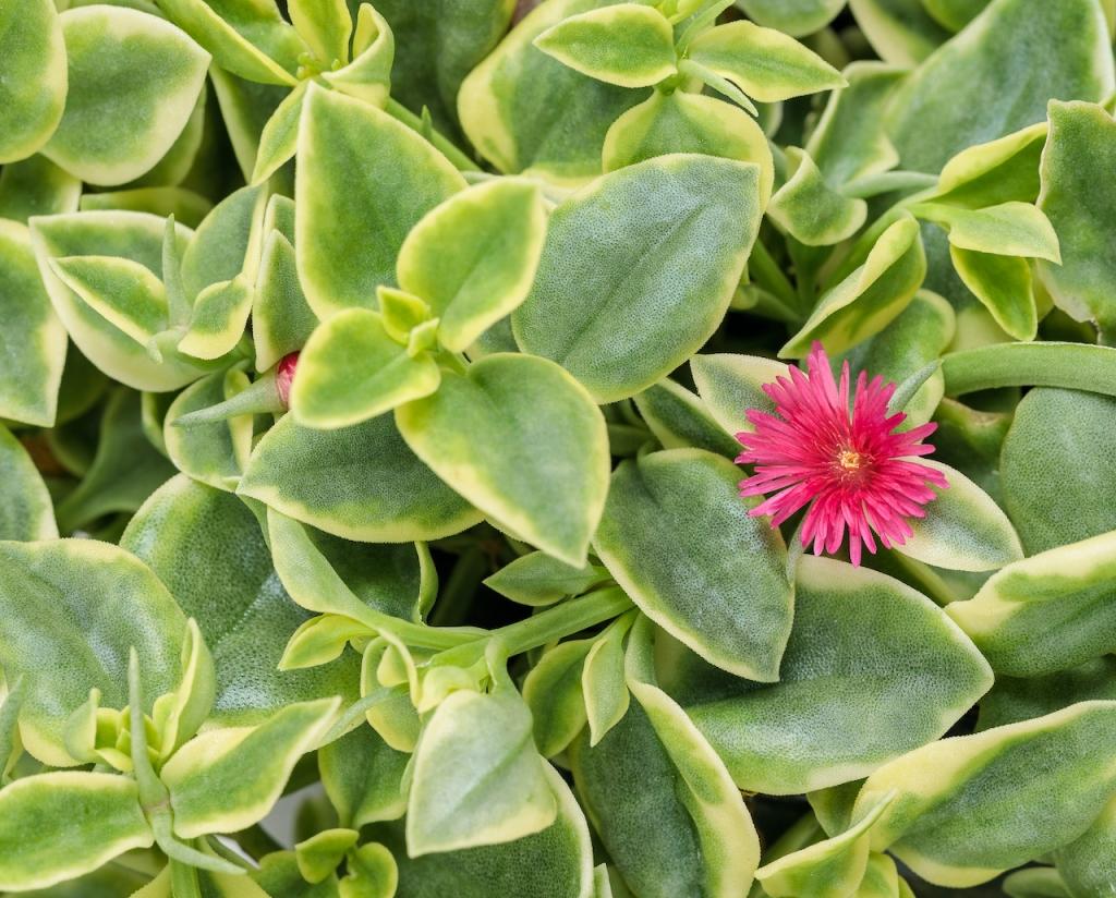 Ficoïde Mezoo, feuille panaché blanc crème, fleurs étoilées rouges