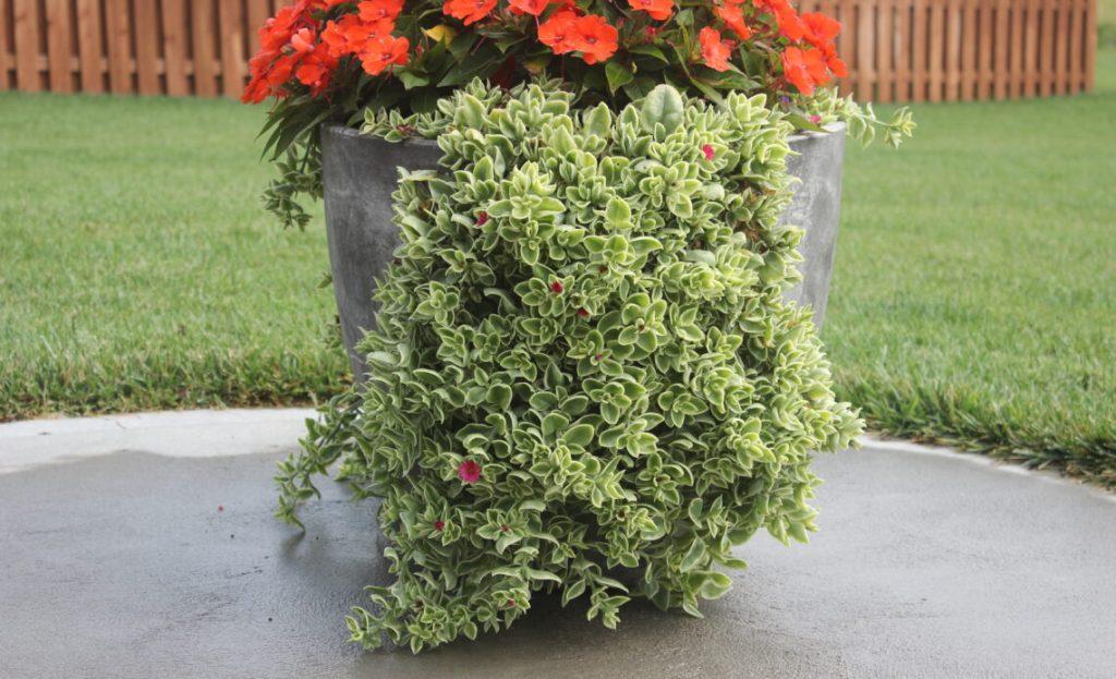 Ficoïde Mezoo, plante retombante, feuille panaché blanc crème, fleurs étoilées rouges