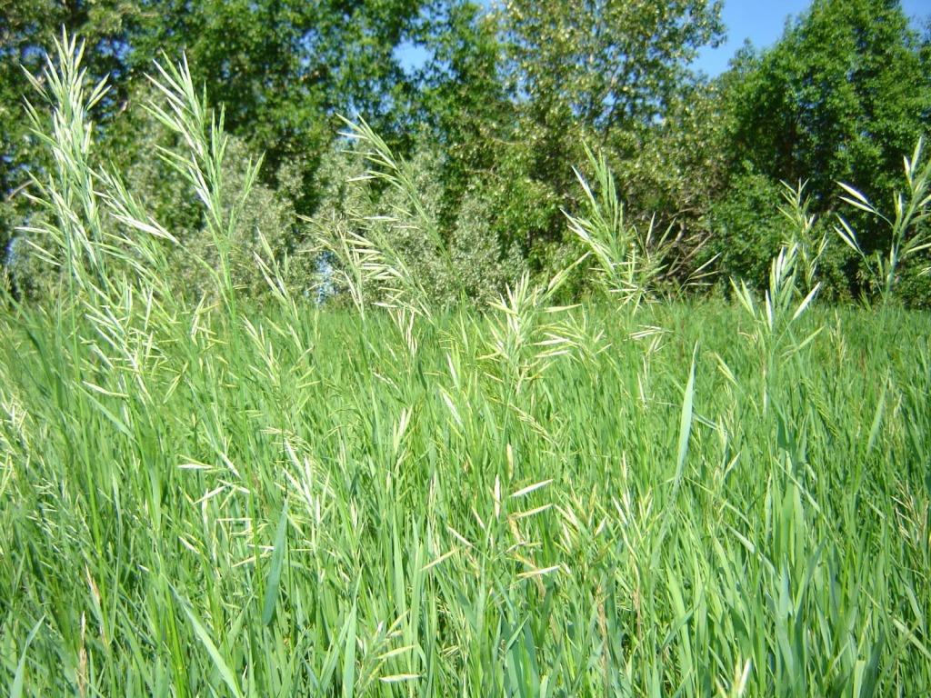 Herbe aux bisons ou foin d'odeur (Hierochloe odorata) dans un champs, tige florale