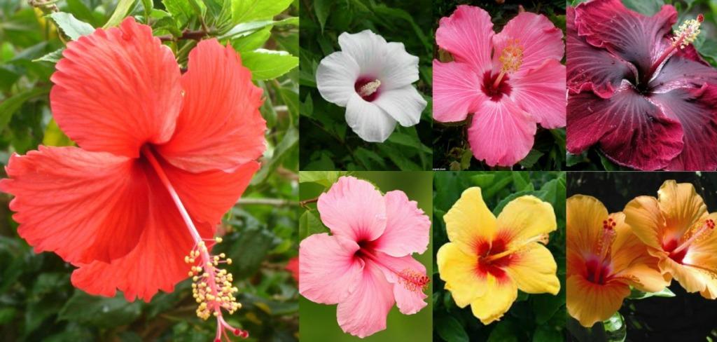 Confusion sur 3 hibiscus 200909h-rsrevathi.blogspot.com_