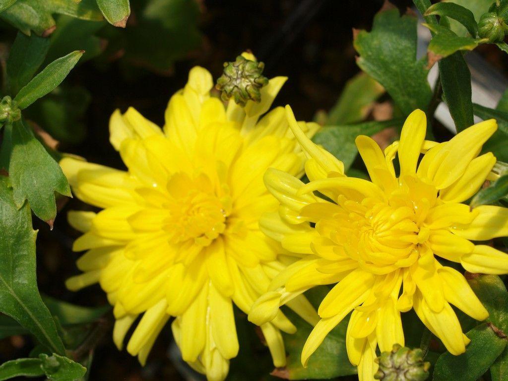 Chrysanthème Morden Canary. Fleurs doubles jaune canari.