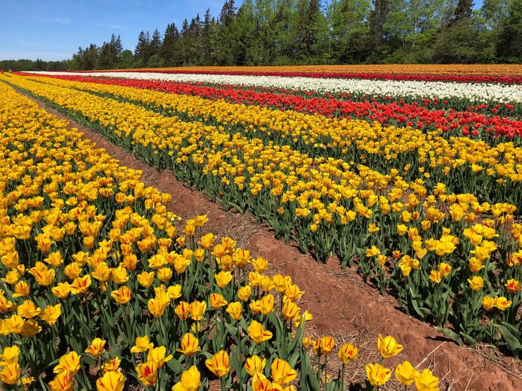 Champ de tulipe multicolore: jaune, rouge et blanc.