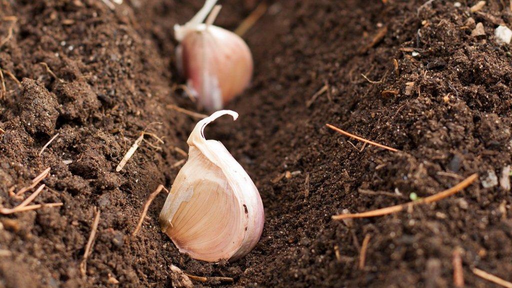 Gousse d'ail placée dans une tranchée de terre lors de la plantation.