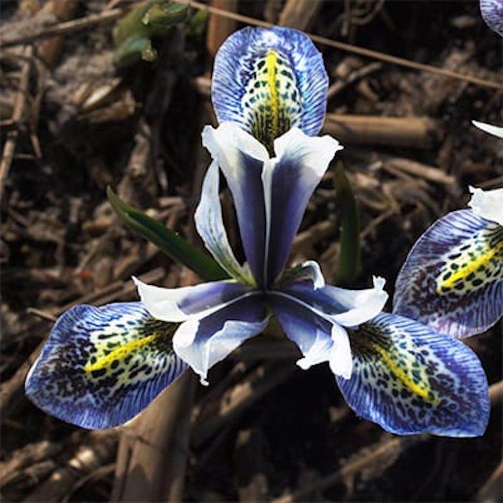Iris Splish Splash. Fleur pourpre et blanc avec marque jaune et taches pourpres foncées