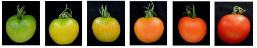 Tomates aux différentes étapes de maturité, de vertes à rouges et pleinement mûres.