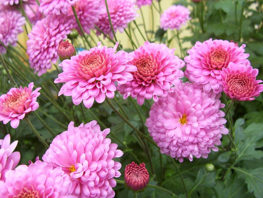 Chrysanthème Showbiz. Pompon rose pourpré, petit oeil jaune.