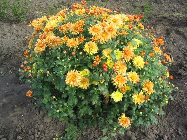 Chrysanthème Tigertail, dome de feuilles vertes, pompons doubles jaunes et orange.