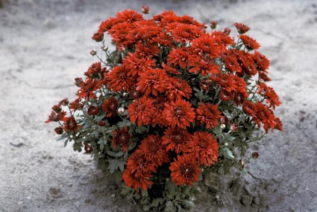 Chrysanthème Minngopher, pompons rouge marron, plante au port arrondi