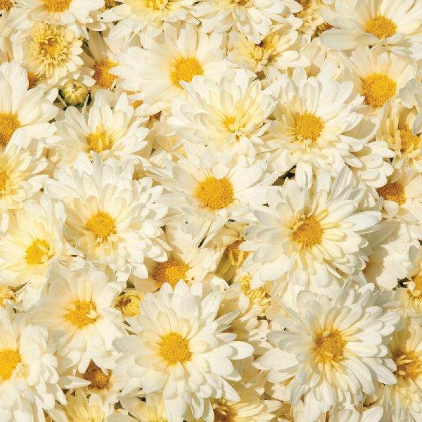 Chrysanthème d'automne Igloo Icicle, fleurs doubles blanc crème, oeil jaune