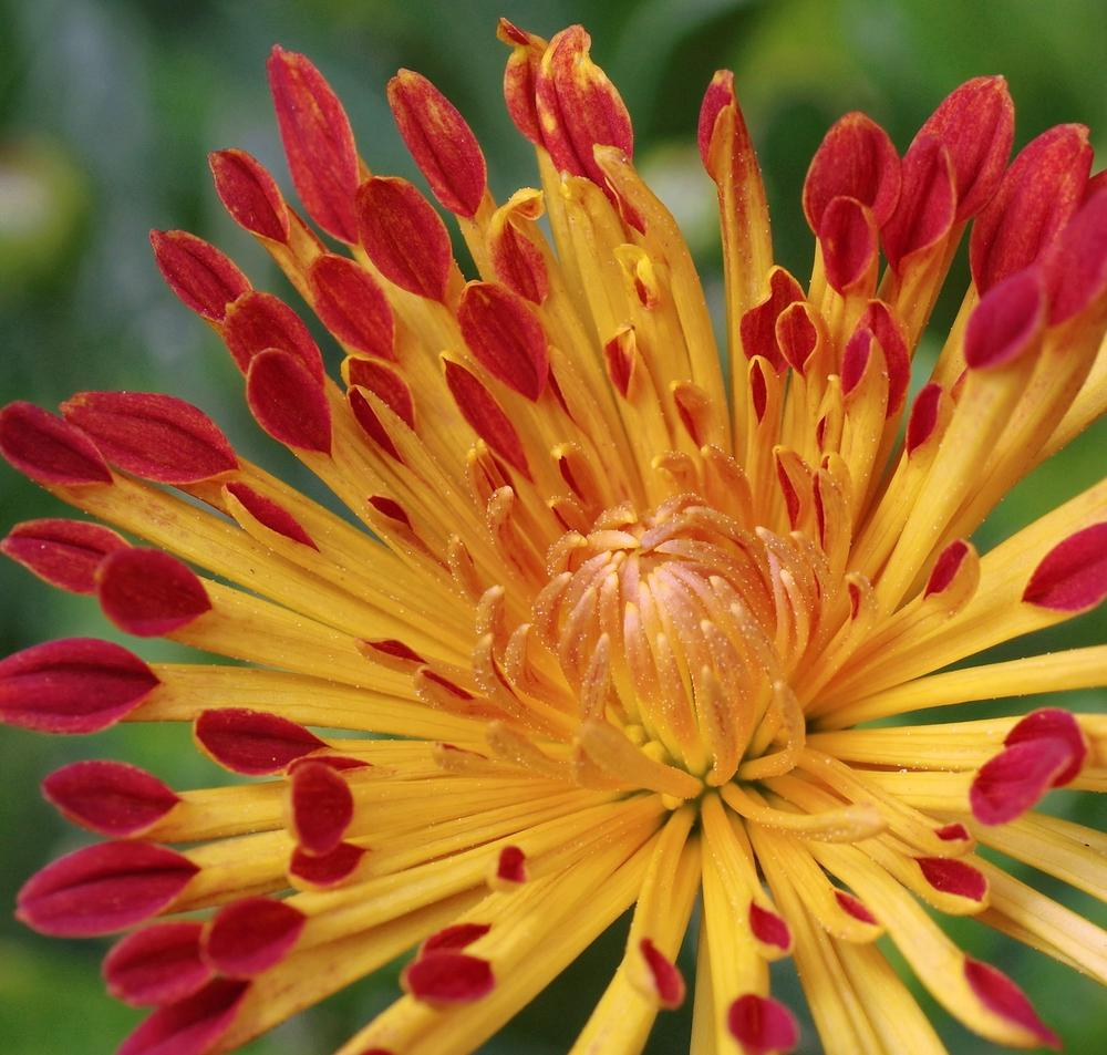 Chrysanthème d'automne 'Matchsticks'., grosse fleur double, pétales tubulaires jaune orangé, pointe rouge feu.