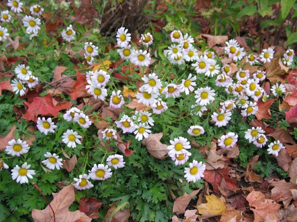 chrysanthème de Weyrich, marguerites blanc rosé, feuilles vertes découpées, feuilles d'automnes brun roux