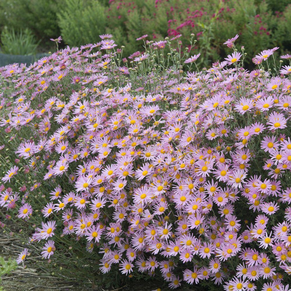 Chrysanthème 'Clara Curtis', masse de fleurs roses à oeil jaune.