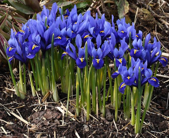 Iris Harmony, fleurs bleu foncé avec des marques blanches et jaunes. Feuilles vertes étroites et courtes.