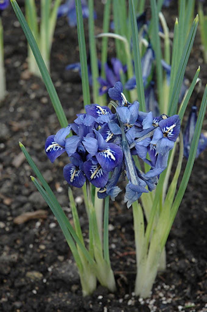 Iris reticulé, fleur fanée, longues feuilles vertes