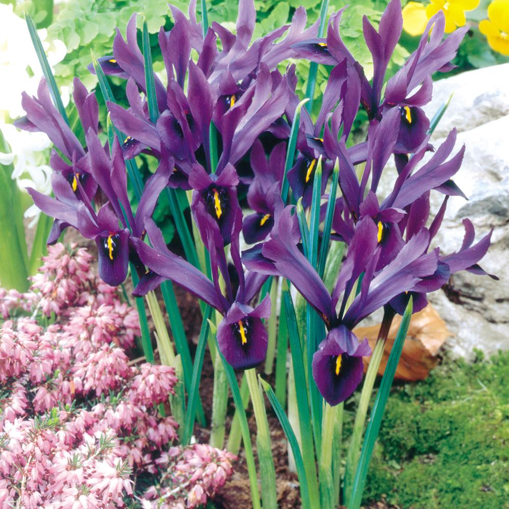Iris histrioides 'Geoge', nombreuses fleurs, violet foncé avec une marque jaune.