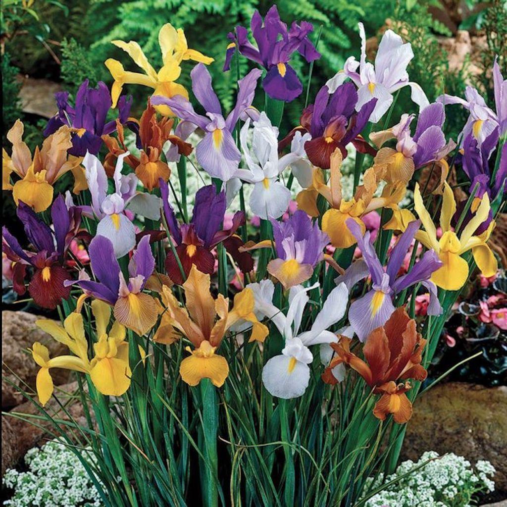 Iris de Hollande en mélange: Jaune orange, marrow, violet, pourpre