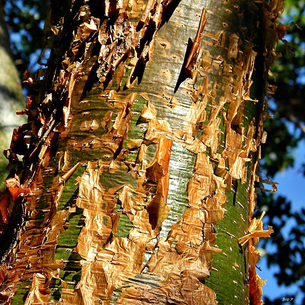 gommier rouge (Bursera simaruba), écorce rouge qui pèle, nouvelle écorce verte.
