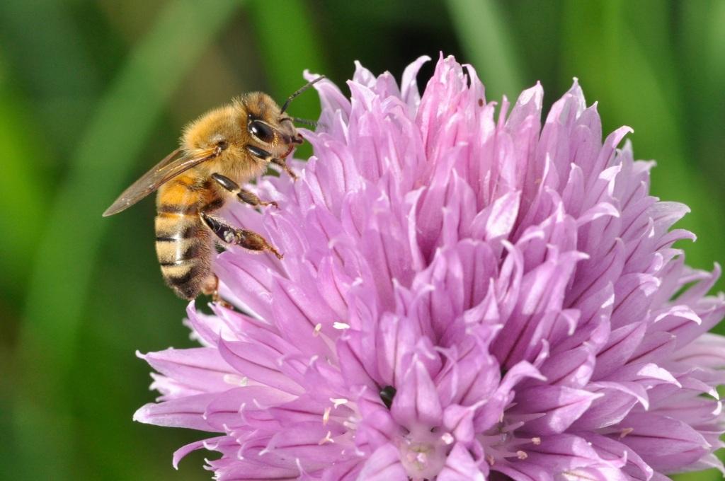 Fleur de ciboulette visitée par une abeille.