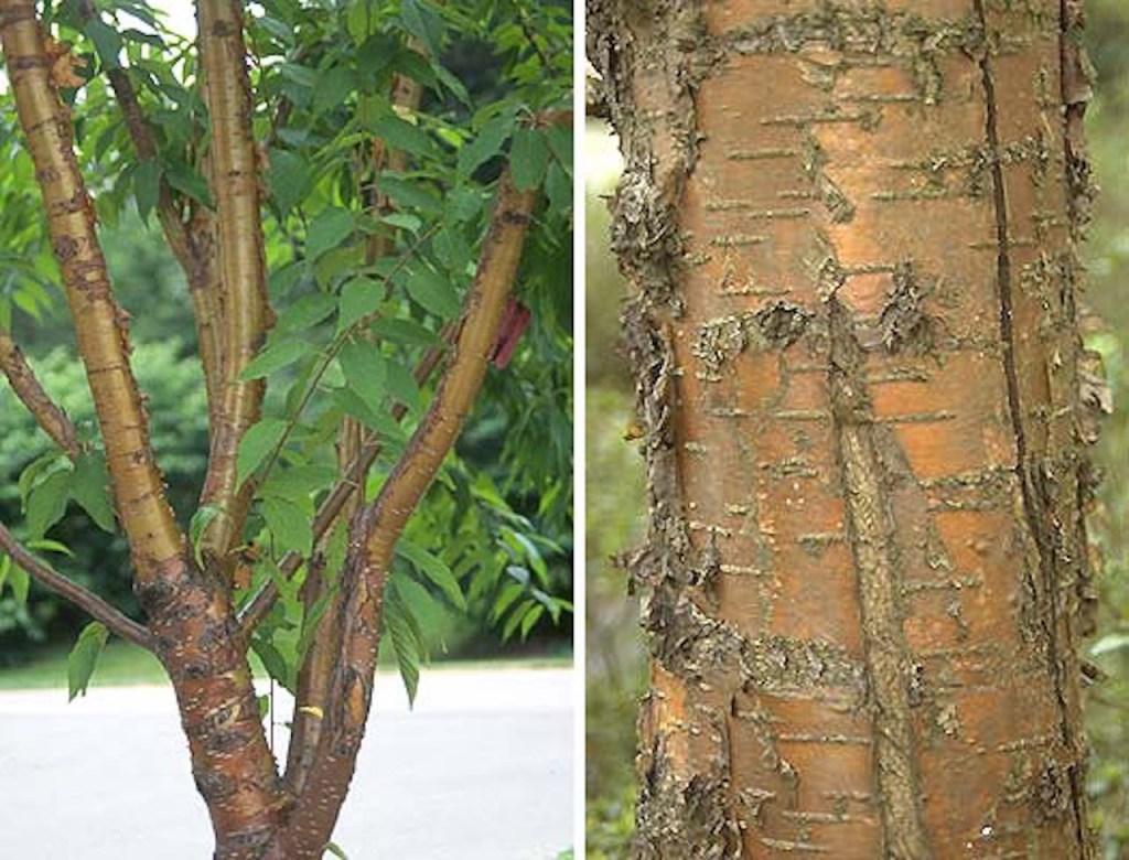 Deux vues de Cerisier de l'Amour (Prunus mackii). Écorce dorée, luisante, exfoliante