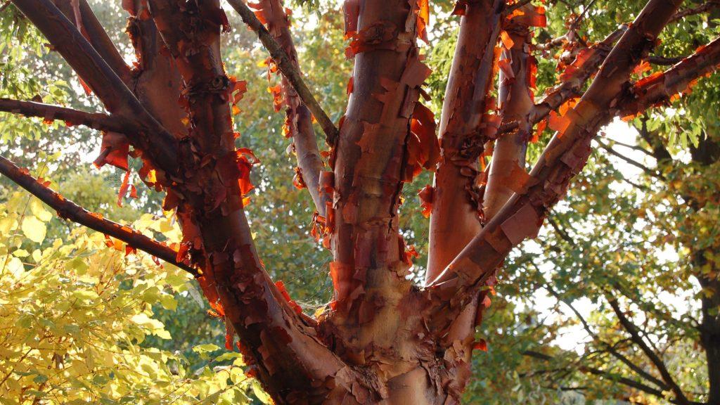 Érable à écorce de papier (Acer griseum). Tronc et plusieurs branches, écorce rouge exfoliante.