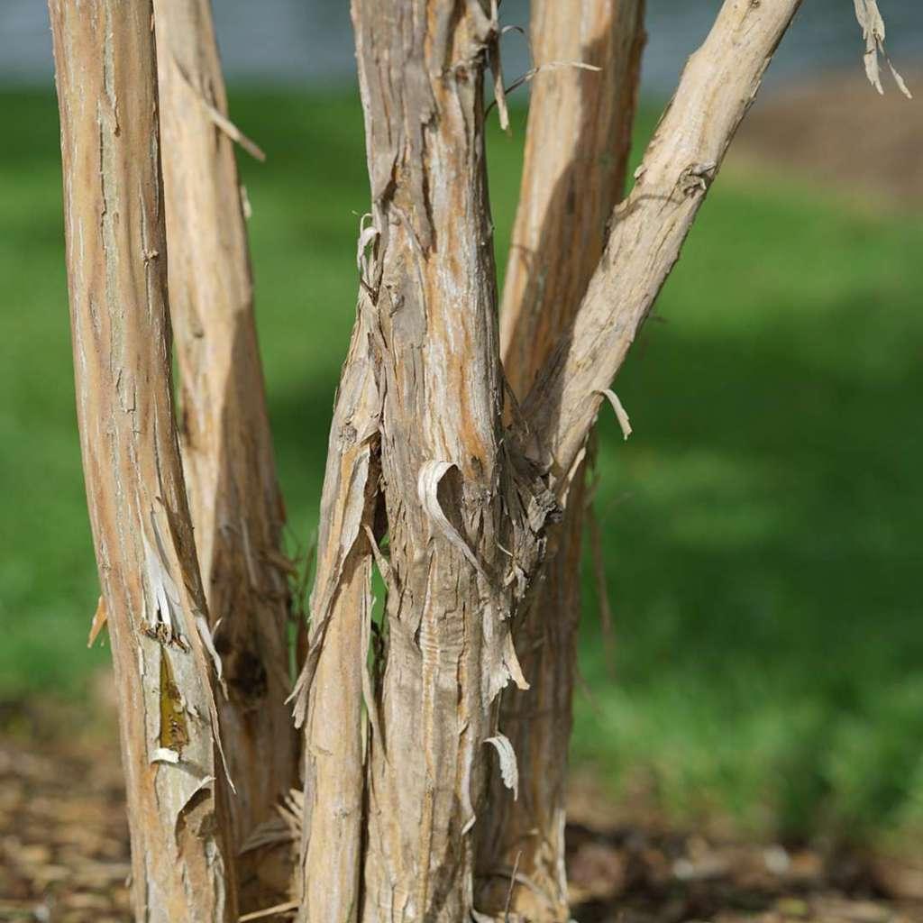 Écorce de Héptacodium (Heptacodium miconioides), beige, déchirée en lambeaux