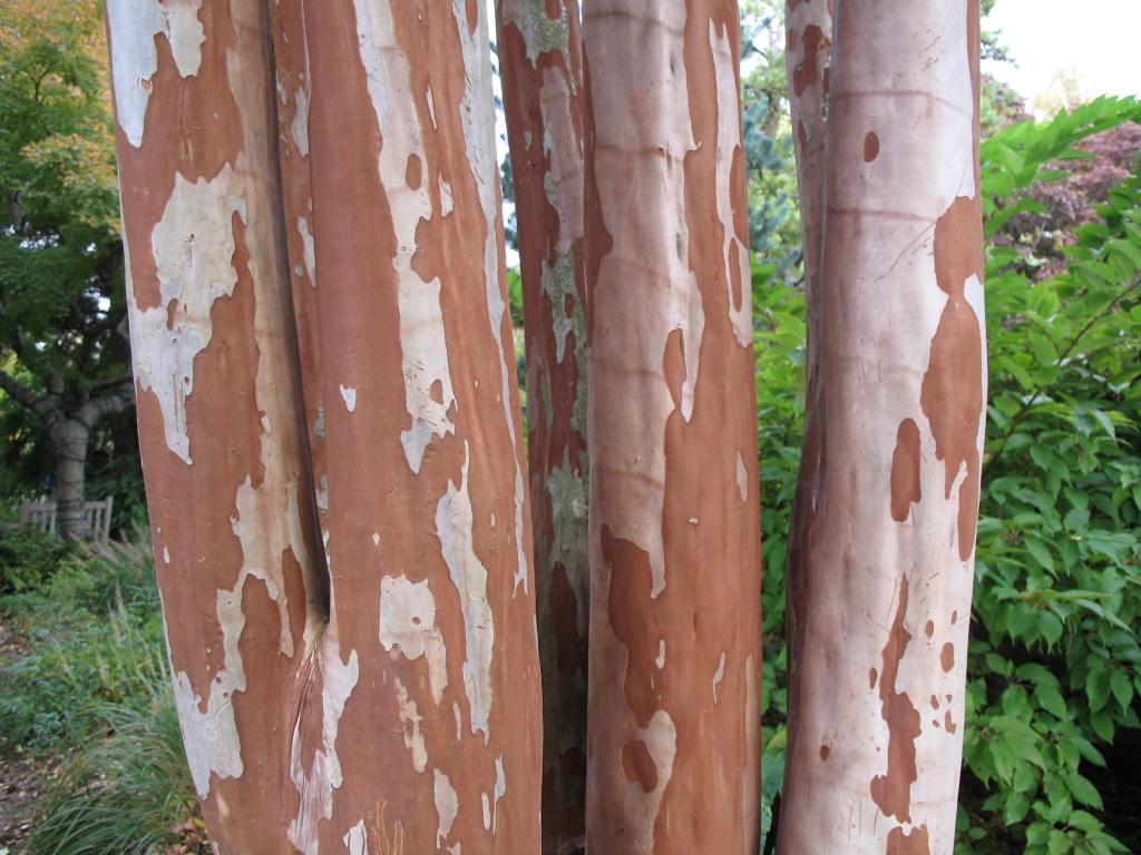 Lilas des Indes (Lagerstroemia indica), troncs multiples, écorce lisse, rouge brique plaquée gris rose.