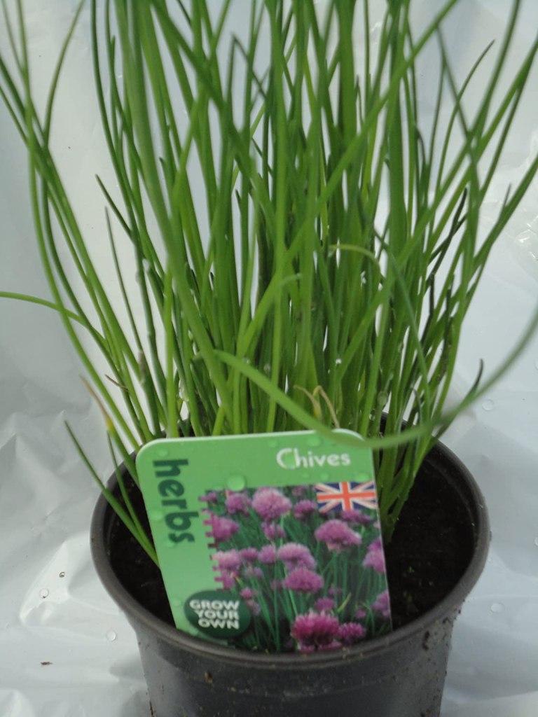 Ciboulette cultivée en pot.