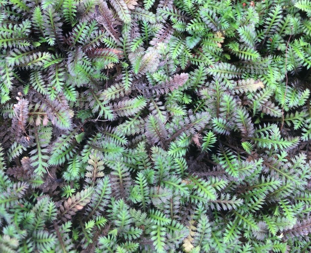 Leptinella squalida 'Platt's Black', petites feuilles vertes et noires rappelant une fougère