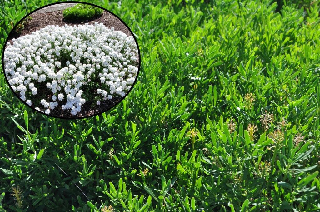 ibéris toujours verte (Iberis sempervirens, fleurs blanches en médaillon, feuilles vertes comme fond de scène.