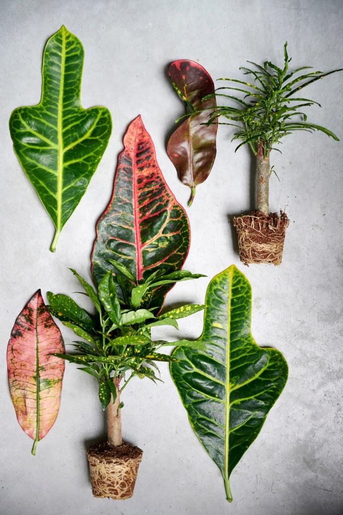 Variété de feuilles de croton: différentes formes et couleurs