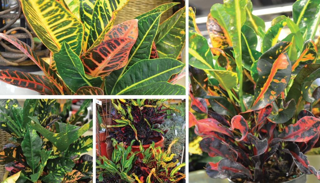 Photos de 5 crotons de forme et de colori différent