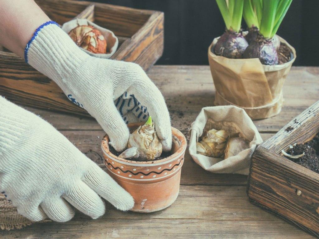 Mains gantées qui manipulent des bulbes de jacinthe