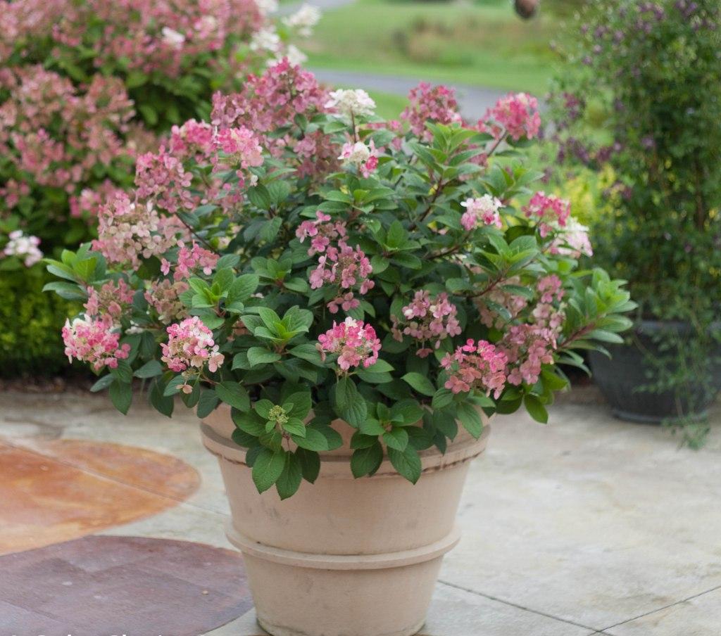 Hydrangea paniculata 'Little Quick Fire' en fleurs