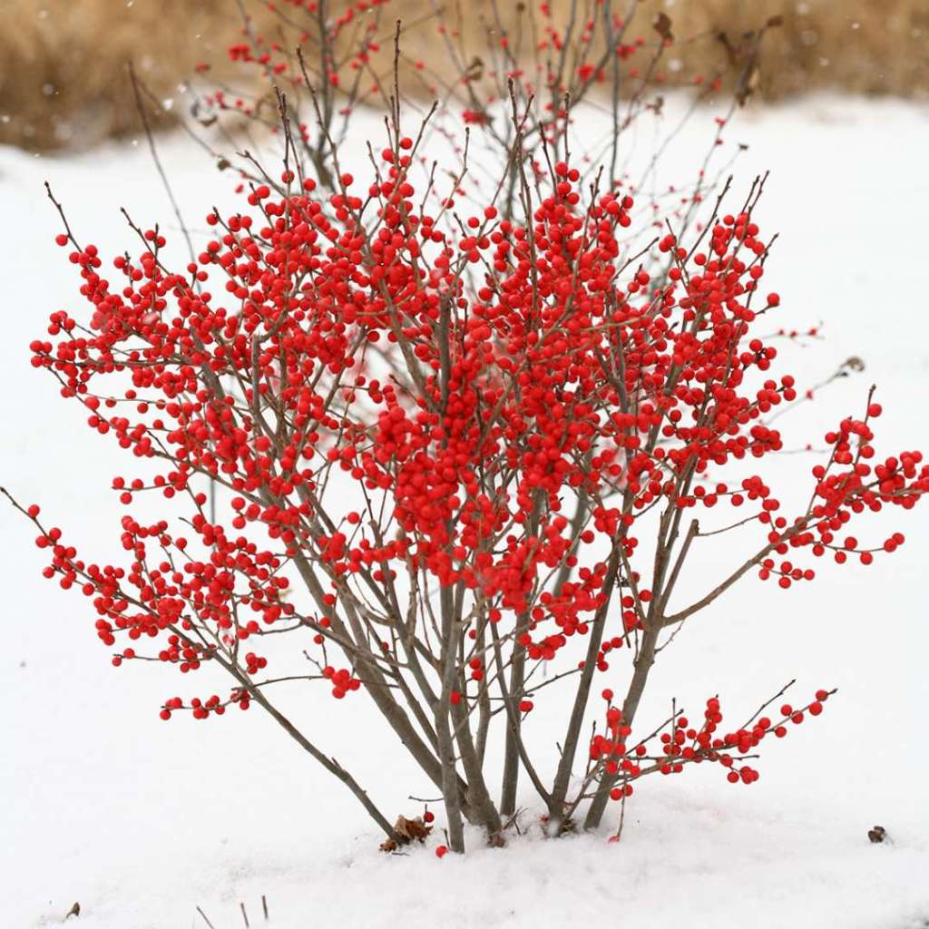 Houx verticillé Berry Poppins, baies rouges, fond de neige