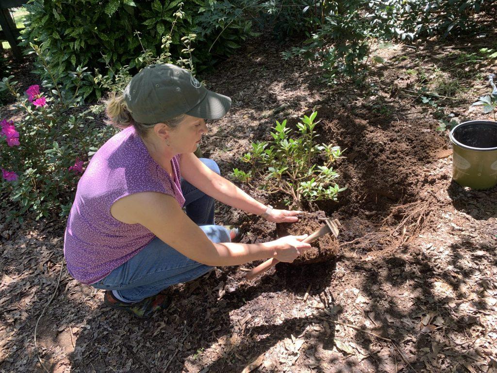 Racines étalées à partir d'une motte de racines