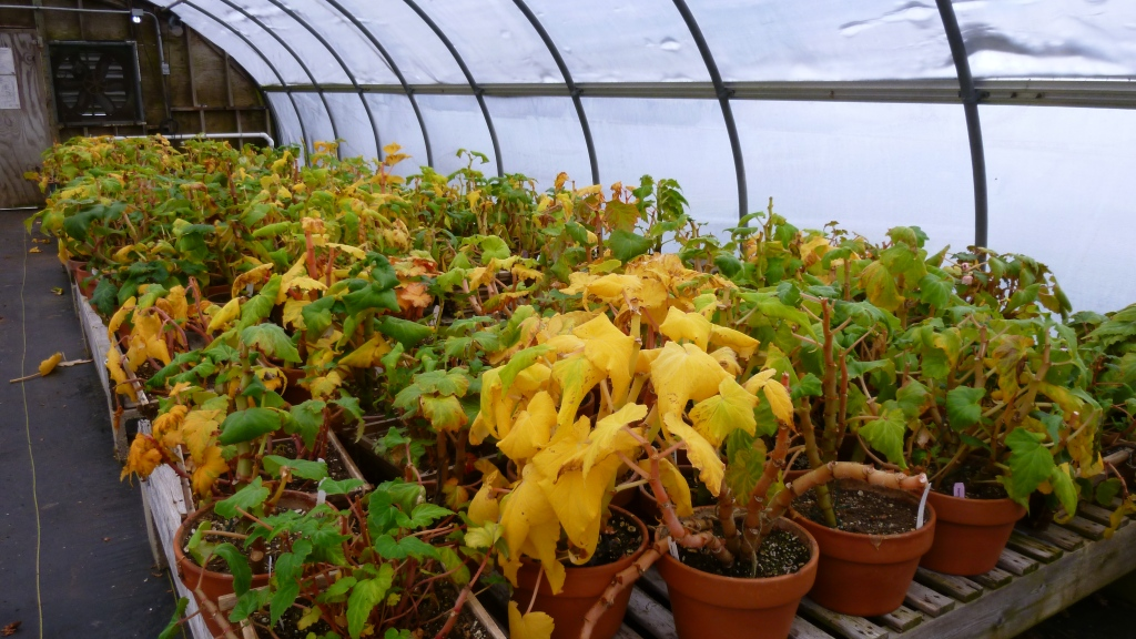 Begonia tubéreux aux feuilles devenant jaunes au début de leur dormance.