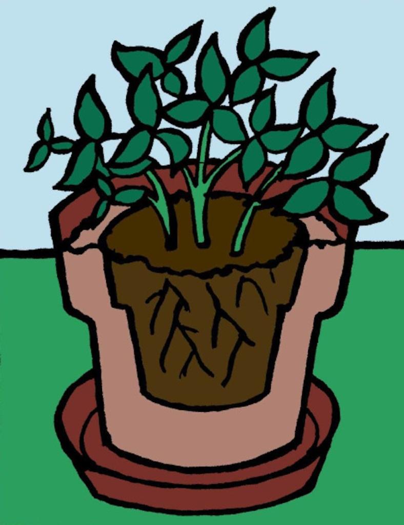 Motte de racines replantée dans un nouveau pot.