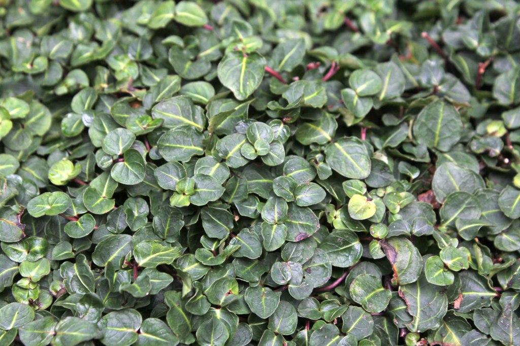 pain de perdrix (Mitchella repens), tapis de feuilles vertes, ligne vert pâle